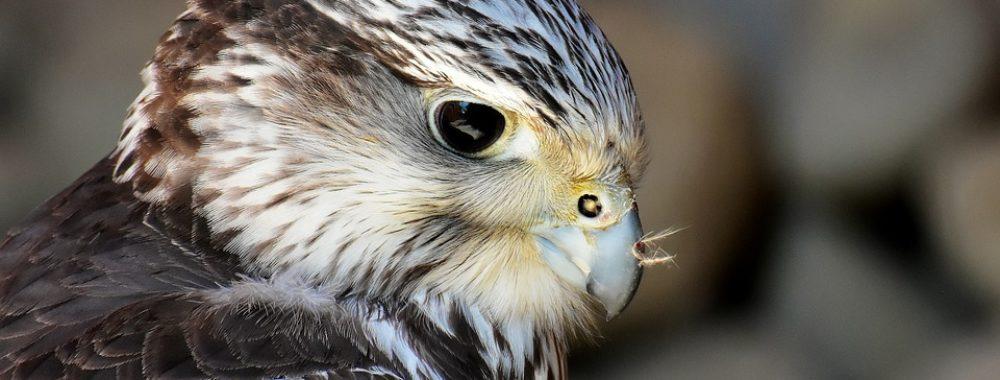 Colombe, vrai ou faucon?